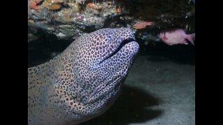Angry moray eel attacks diver