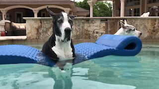 Great Danes chill out on floatie before Florida storm