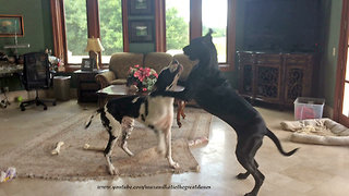 Great Danes get into scuffle over sharing their bones