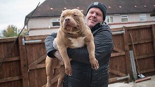 Meet Dios: The Bully Built Like A Bodybuilder   BIG DOGZ