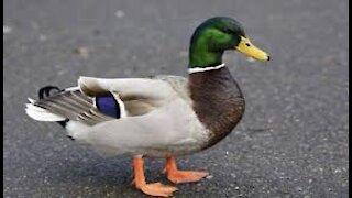 Beautiful ducks are eating