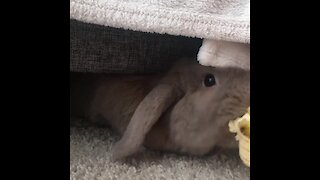 Rabbit emerges from hiding spot to snack on banana