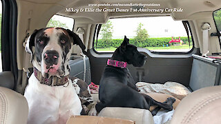 Great Danes Celebrate The Anniversary of their 1st Car Ride Together