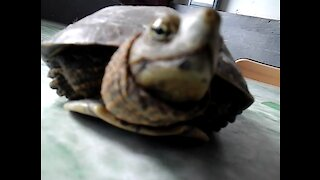 The Smiling Turtle
