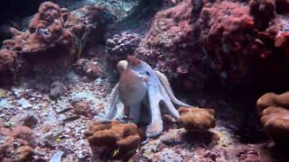 Octopus disguises itself with amazing color scheme