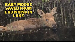 Baby Moose Saved From Drowning