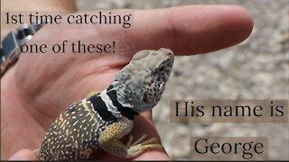 Critter Highlight: Great Basin Collared Lizard🦎