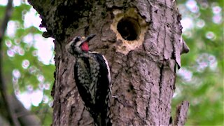 Baby woodpeckers demand food from their hard-working dad