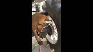 Capuchin monkey works on his new monster truck