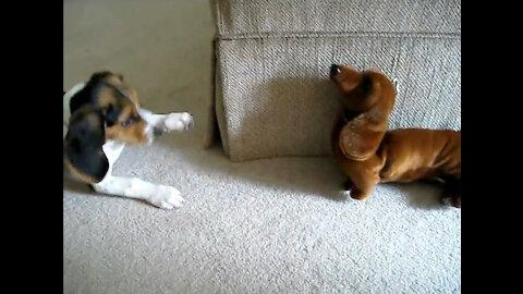 Beagle Puppy vs. Fake Dachshund
