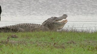Walking Club 101: Hiking During Alligator Mating Season