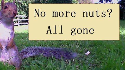 Watch the nuts disappear as the squirrels and magpies get them one by one.