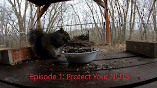 Squirrels Protect Their Nuts | Episode 1