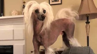 Dog disrupts owner's dance routine