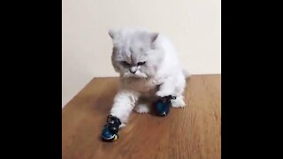 Tiny kitten learns boxing