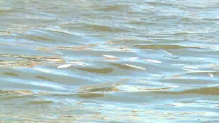 Dead fish floating on the Cuyahoga River