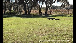 Unexpected alligator strolls across Florida yard into pond