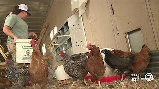 Boulder County poultry farmer looking for missing fowl after fire evacuations