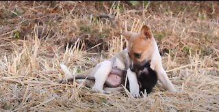 BEST VIDEOS, CUTE AND FUNNY MONKEY PLAYS WITH PUPPY