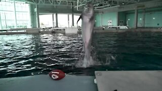 Rescued dolphin picks Chiefs to win Super Bowl