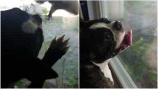Denne hunden elsker å se på ekorn fra vinduet