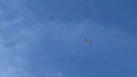 Vocal Hawks