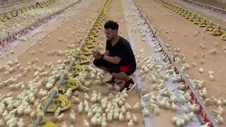 Hundreds of chicks run to greet their caretaker