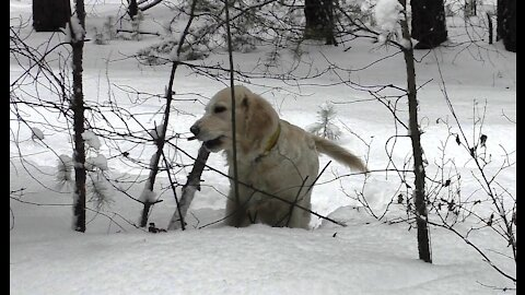 Golden Retriever, loving to chew on the branches