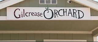 Gilcrease Orchard pumpkin patch opens Saturday, with some changes for 2020