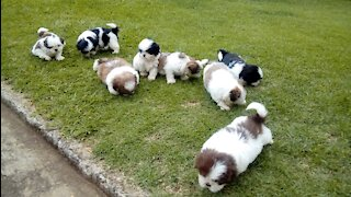 funny dogs playing puppies