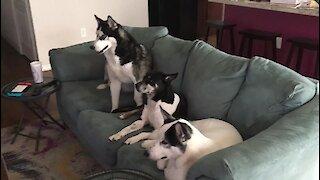 Curious dogs watch their favorite husky movie