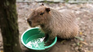 Funny rescued capybara is ready for a manicure