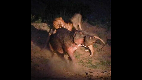 Wounded Hippo Fights Off FIVE Lions | SNAPPED IN THE WILD