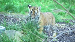 3 tiger cubs make public debut at Cleveland Metroparks Zoo