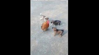 Pelea de pollos contra perros - Vídeos divertidos de peleas de perros