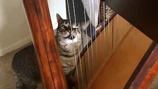 Cat thinks harp is scratching post