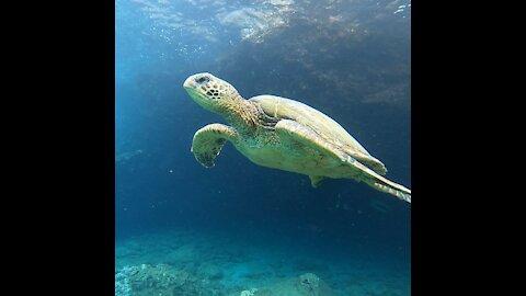 Turtle moments Maui