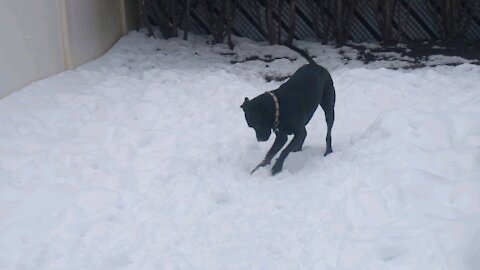 Dog Makes A Snowball...