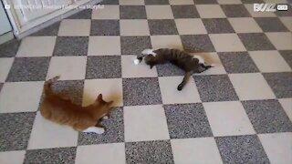 Questi gatti sono sinonimo di pigrizia