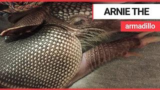 Meet Arnie, the baby armadillo that loves taking baths