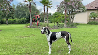 Great Dane Supervises Palm Tree Trimming Yard Work