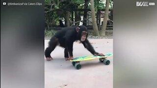 Ce chimpanzé maîtrise le skateboard
