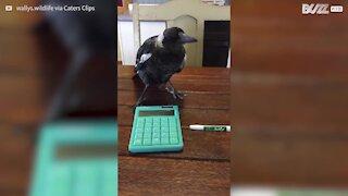 """Pássaro """"ajuda"""" jovem a estudar, mas só atrapalha!"""