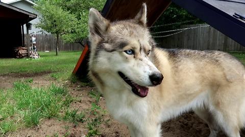 Husky wants to dig to China