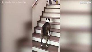 Bull terrier adorável sobe escadas com pulinhos