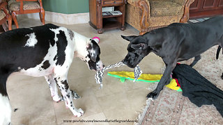 Great Danes Get Tangled Up Playing Tug Of War
