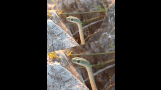 Green snake in the middle of the rocks 2021