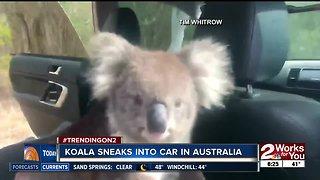 Koala sneaks into car in Australia
