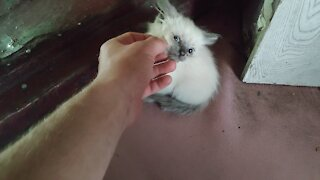 Crossbreed siamese cat.