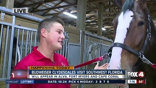 Budweiser Clydesdales visit Southwest Florida this week - 7am live report